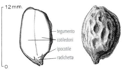 800px--_13_-_ITALY_-_black_and_white_drawing_and_diagram_of_a_Jojoba_seed_-_ho_ho_bah_-_by_flowertales.it