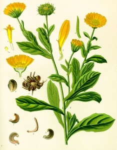 Calendula-officinale